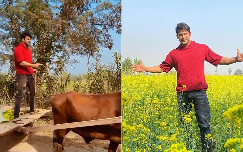 Bigg Boss 13 's Sidharth Shukla Attempts Shah Rukh Khan's Signature Pose, Shehnaaz Gill Goes 'Buraahhhhh' As He Lives Life 'Desi Style' In Punjab- VIDEO
